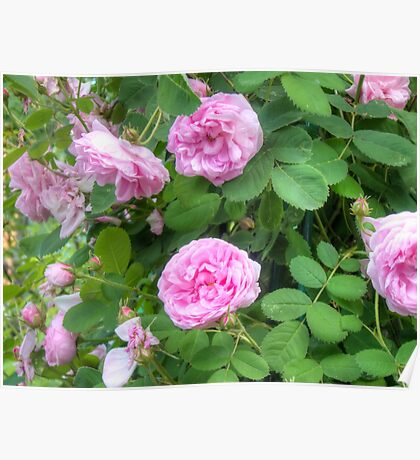 Pink Roses in the Garden 7 Poster