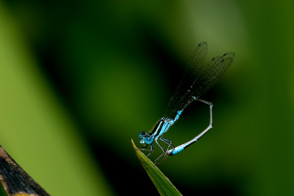 Blue Dragonfly by Timothy Oon