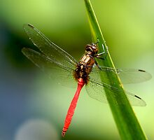 Red Dragonfly 1 by Timothy Oon