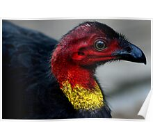 Australian Brush Turkey Poster