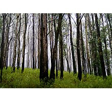 Tall trees in the Mist Photographic Print