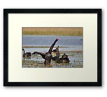Black Swan -  Show of Strength Framed Print