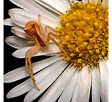 Crab Spider Photographic Print
