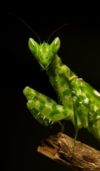 Flower Mantis Beauty Shot by Frank Yuwono