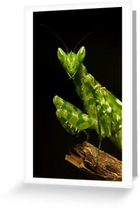 Flower Mantis Beauty Shot by Frank Yuwono