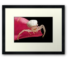 Crab Spider on Frangipani Framed Print