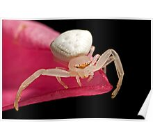 Crab Spider on Frangipani Poster