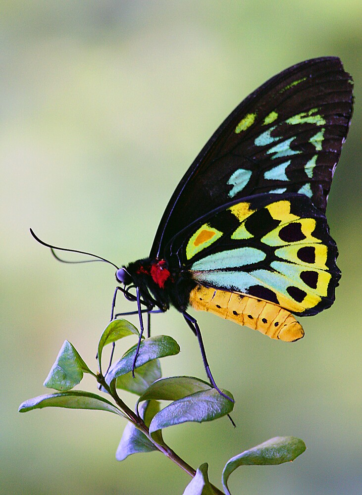Butterfly by Natalie Manuel