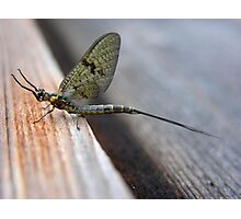 MayFly Photographic Print