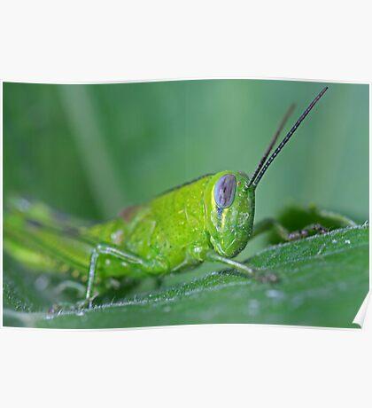 Grasshopper 14 Poster