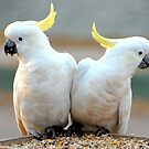 Cockatoos by chriso