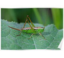 Grasshopper 16 Poster