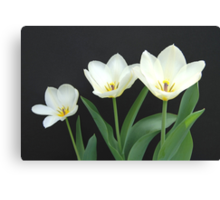 Trio of White Tulips Canvas Print