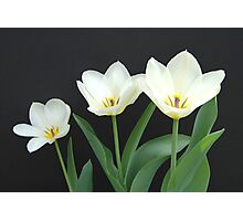 Trio of White Tulips Photographic Print