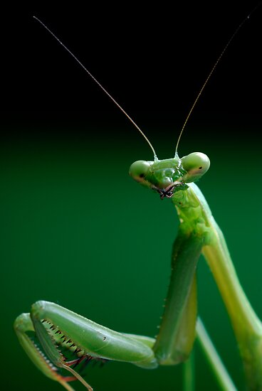 False Garden Mantis by Frank Yuwono