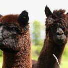 A Pair of Alpaca by Furtographic