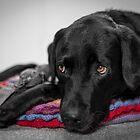Adorable Labrador by JFPhotography