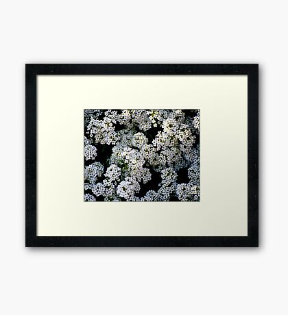 Alyssums white Framed Print