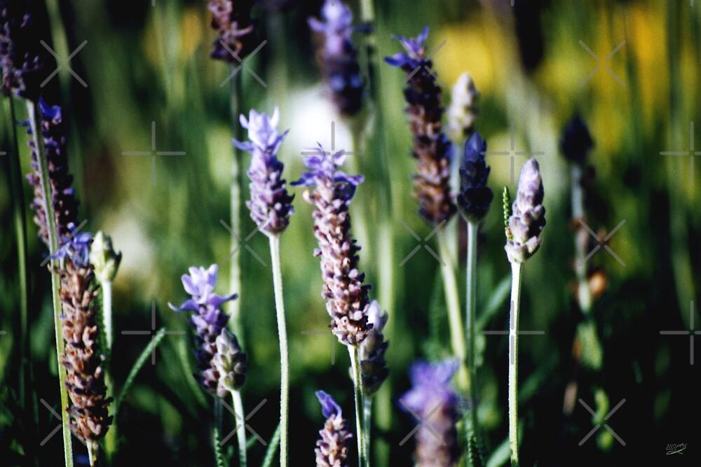 Fields of lavender by georgiegirl