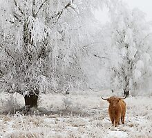 Highland Cow in frosted landscape by Natuuraandemuur