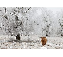Highland Cow in frosted landscape Photographic Print