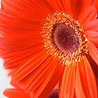 Gerbera by hugo