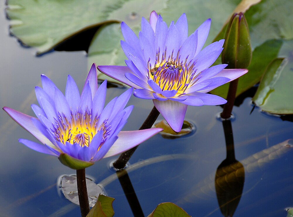 Water Lillies by Fiona Law