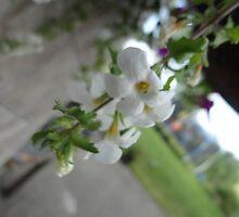 Delicate White by jessicajessie