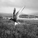 Arctic Tern by Lindamell