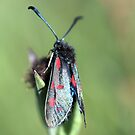 Burnet Moth by Lindamell