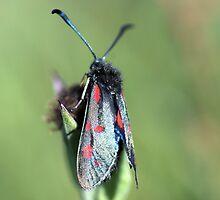 Burnet Moth by Lindamell