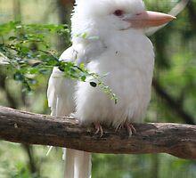 Albino Kookaburra by Kylie Paterson