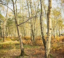 Silver Birch Trees in autumn by Amar-Images