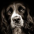 English Springer Spaniel  by JFPhotography