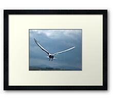 Sterna paradisaea-Arctic Tern Framed Print