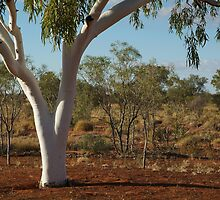 Ghost Gum,Outback Australia,N.T. by Joe Mortelliti