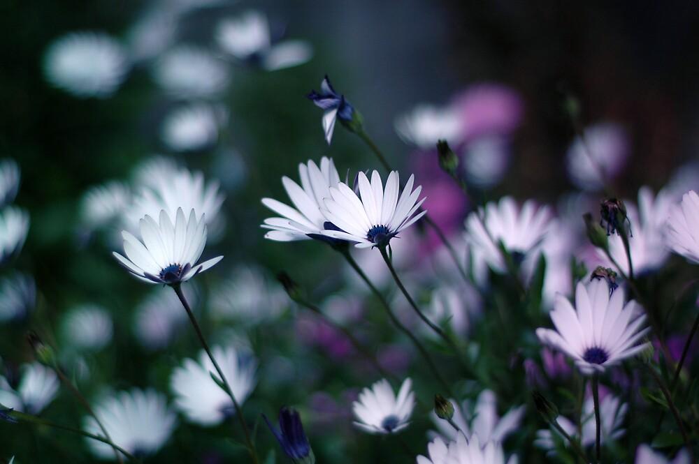 Daisy Daisy by IrishGill