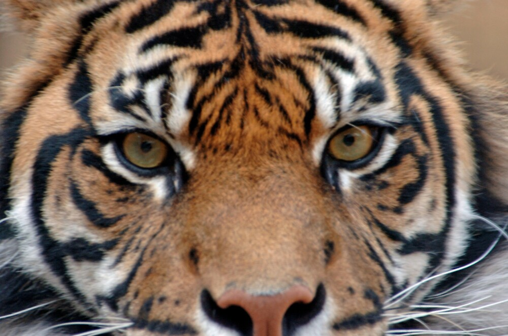 Eye Of The Tiger by Tone