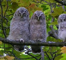 Tawny Owl Chicks by Lindamell