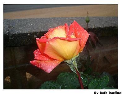 petal acid soak. 1 by elizabethrose05