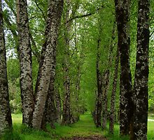 Silver Birch Trees, Otway Ranges by Joe Mortelliti