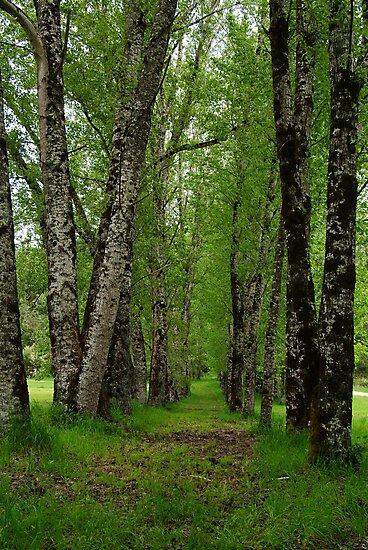 Silver Birch Trees, Otway Ranges by Joe Mortelliti