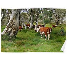 Mountain Cattle, Victorian High Country Poster