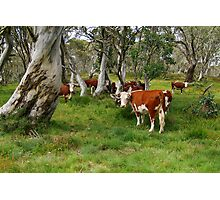 Mountain Cattle, Victorian High Country Photographic Print