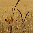 Thistle,Geelong District by Joe Mortelliti