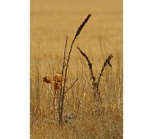 Thistle,Geelong District Photographic Print