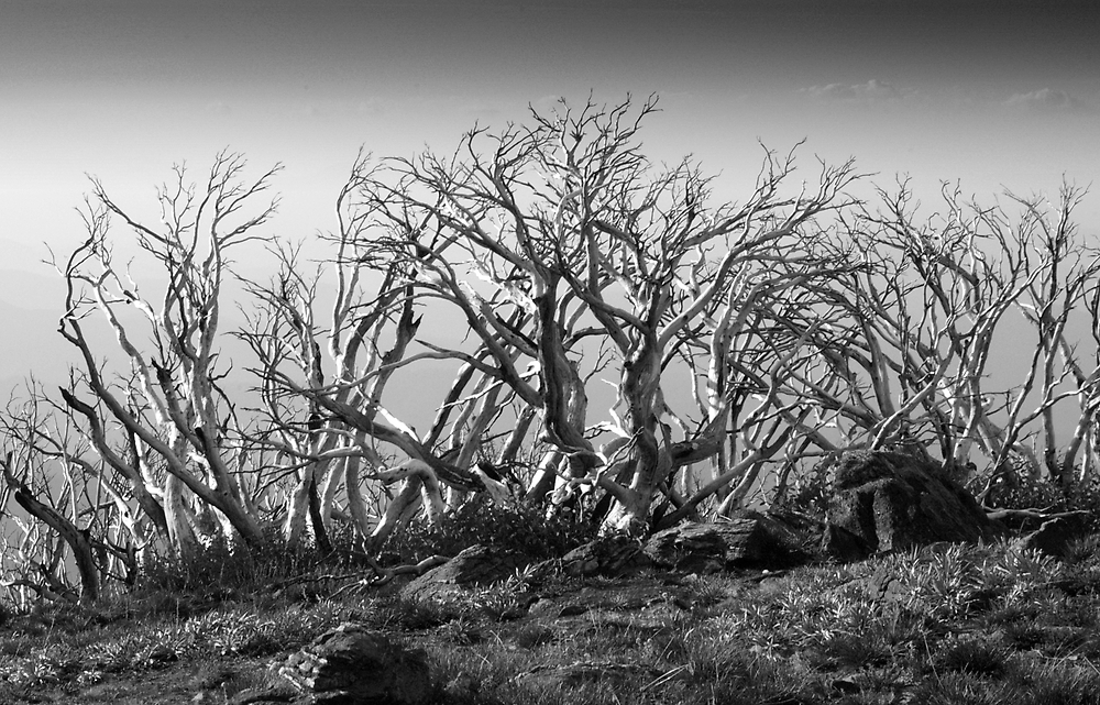 Ghosts of Snow Gums by John Barratt