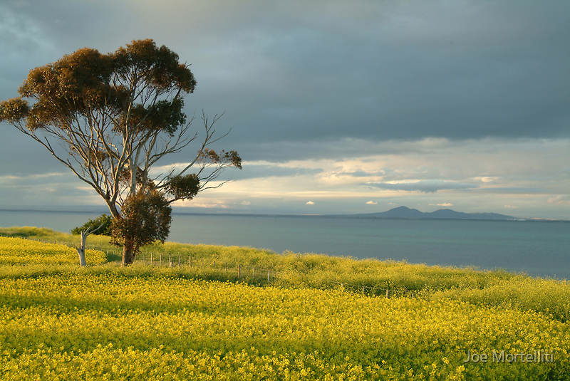 Golden Fields, Bellarine Peninsula by Joe Mortelliti