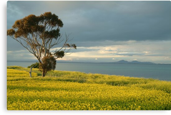 Golden Fields, Bellarine Peninsula by Joe Mortelliti