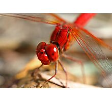 Red Dragonfly 7 Photographic Print